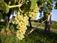 Die Quelle des Weingenusses - die Traube in seiner ganzen Schönheit