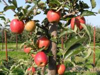 Apfelanbau im Alten Land bei Jork