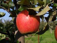 Und so wird später aus der Blüte ein wohlschmeckender Apfel... / © Sascha Brenning - Hotelier.de