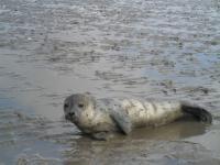 Eventuell begegnen Ihnen dort kleine, gestrandete Seehunde. Vorsicht: Vielleicht kommt die Mutter zurück. Ansonsten: Auf keinen Fall anfassen, sondern die Polizei anrufen!