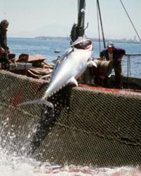 Tunfischfang vor der spanischen Küste. © Jorge BARTOLOME / WWF