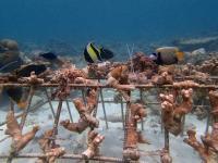 Korallengarten im Reethi Faru Resort / Bildquelle: © Reethi Faru Resort